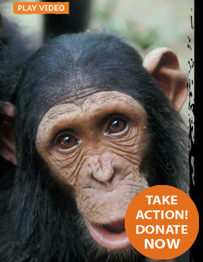 Ape Action Africa website - Mendip Media